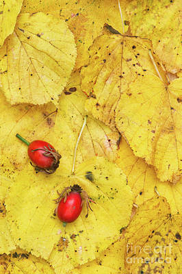 Seedpods Photograph - Rosehips And Birch Leaves by Tim Gainey
