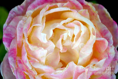 Photograph - Roses 2 by Diane montana Jansson