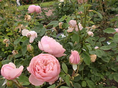 Photograph - Roses by Ann Yamagishi