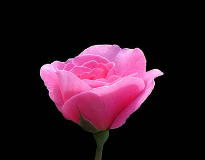Photograph - Roses Are Pink - On Black by MTBobbins Photography