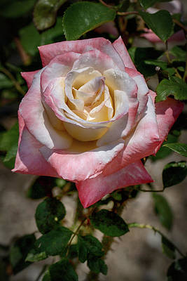 Photograph - Roses Are Red And White And Yellow by John Haldane