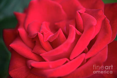 Roses Are Red Art Print by David Zanzinger