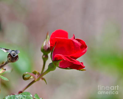 Red Photograph - Roses Are Red by Kerri Farley