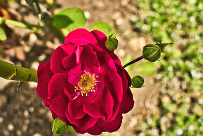 Photograph - Roses Are Red by Robert Brown
