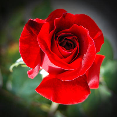 Photograph - Roses Are Red by Sandra Selle Rodriguez