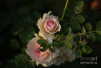 Roses At Sunset Art Print by Lisa Phillips