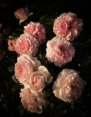 Photograph - Roses Aug 2017 by Richard Cummings