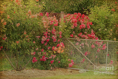Photograph - Roses By The Garden Gate by Elaine Teague