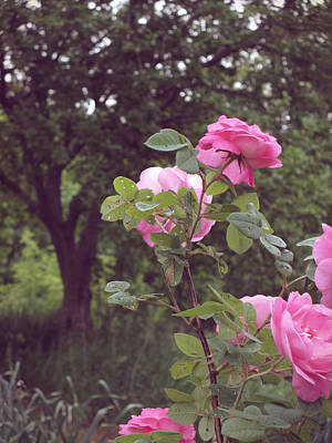 Photograph - Roses From Long Ago by Mary Wolf