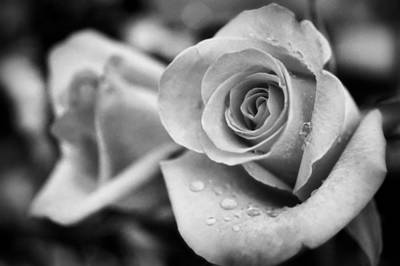 Photograph - Roses In Black And White by Lilia D