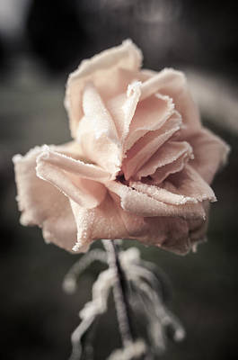 Photograph - Roses In December by Miguel Winterpacht