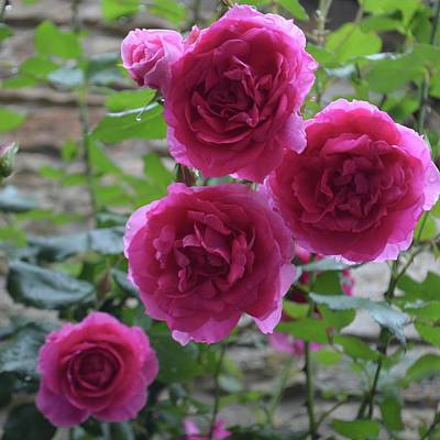 Photograph - Roses In French Light by Cheryl Miller