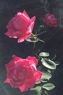 Roses In The Sun Print by Daniel Sparks