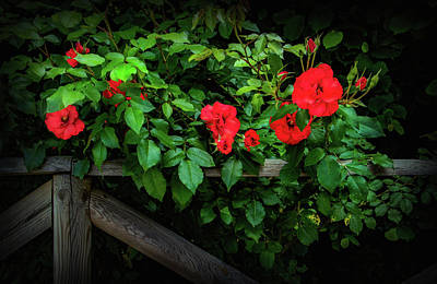 Photograph - Roses On The Fence by Carolyn Derstine