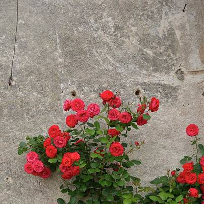 Photograph - Roses With Stone Wall by Cheryl Miller