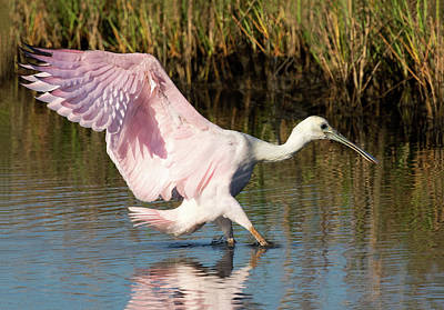 Photograph - Rosetta Spoonbill Landing by Art Cole