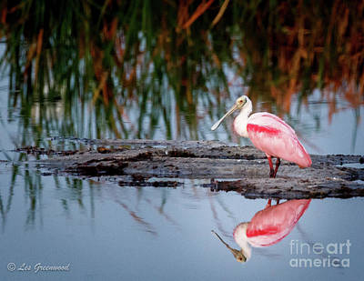 Photograph - Rosetta Spoonbill by Les Greenwood
