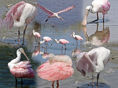 Photograph - Rosette Spoonbill Collage 01 by Terry Shoemaker