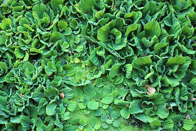 Photograph - Rosette Water Lettuce by Viktor Savchenko