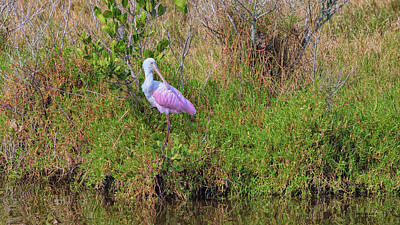 Fine Dining - Rosie the Spoonbill by John M Bailey