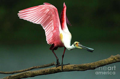 Photograph - Rosiette Spoonbill Texas by Bob Christopher