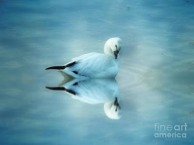 Digital Art - Ross Goose by Suzanne Handel