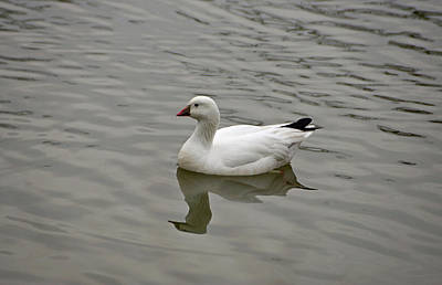 Evansville Photograph - Ross's Goose by Sandy Keeton