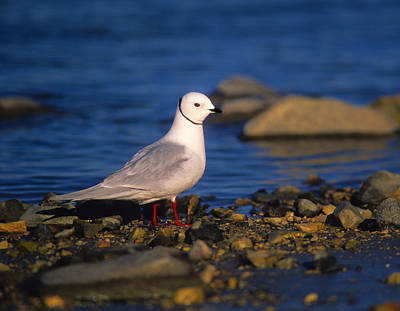 Rare Bird Photograph - Ross's Gull by Tony Beck