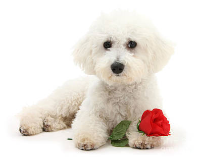 Photograph - Rosy Bichon by Warren Photographic
