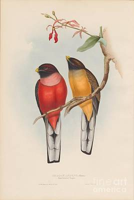 Painting - Rosy-breasted Trogon by Celestial Images