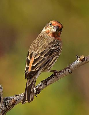 Red Finch Photograph - Rosy Finch Posing I by Linda Brody