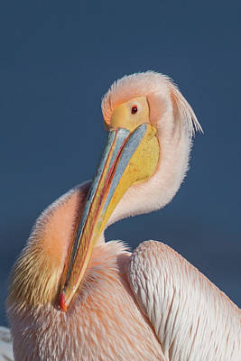 Photograph - Rosy Pelican - Pelecanus Onocrotalus by Jivko Nakev