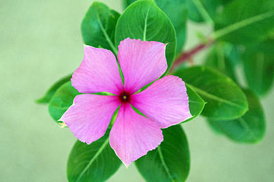 Photograph - Rosy Periwinkle by Tikvah's Hope