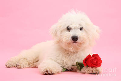Photograph - Rosy Pink Bichon by Warren Photographic