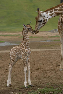 Mp Photograph - Rothschild Giraffe Giraffa by San Diego Zoo