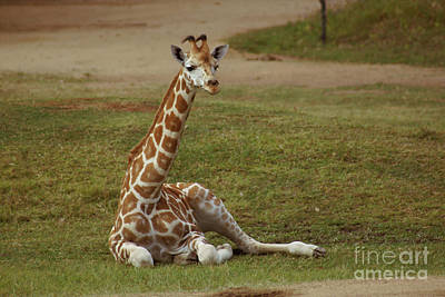 Photograph - Rothschilde's Giraffe by Cassandra Buckley