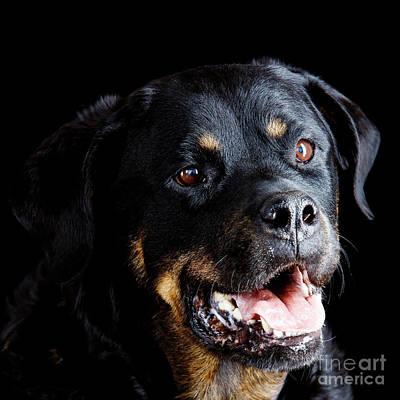 Photograph - Rottweiler Dog by Gunnar Orn Arnason