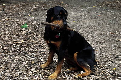 Rottweiler Dog Holding Stick In Mouth Art Print by Sally Weigand