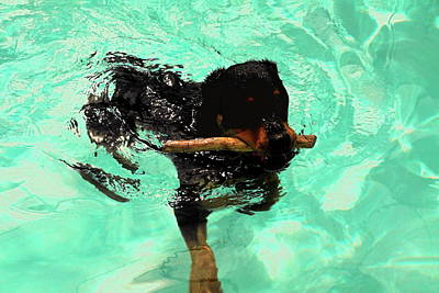 Rottweiler Dog Swimming Art Print by Sally Weigand