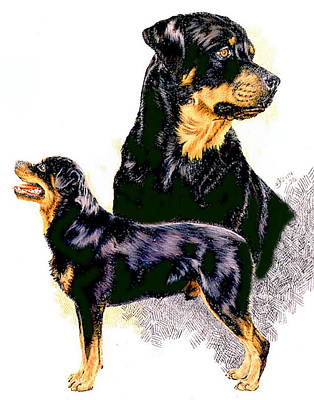 Drawing - Rottweiler Double by Barbara Keith