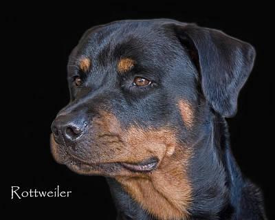 Rottweiler Wall Art - Photograph - Rottweiler by Larry Linton