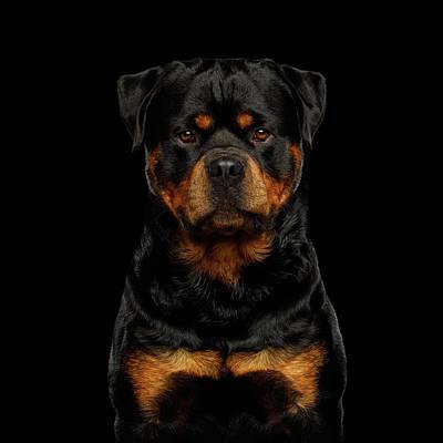 Photograph - Rottweiler by Sergey Taran