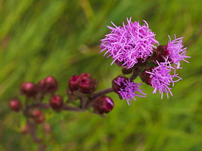 Photograph - Rough Blazing Star by James Peterson
