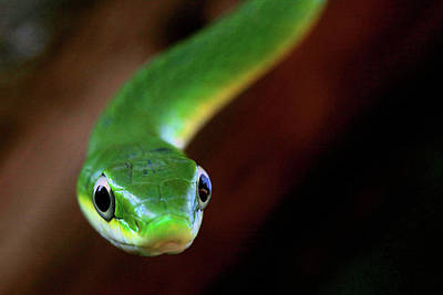 Photograph - Rough Green Snake Closeup by Kyle Findley