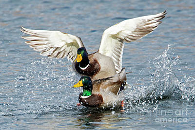 Mallard Duck Photograph - Rough Landing by Mike Dawson