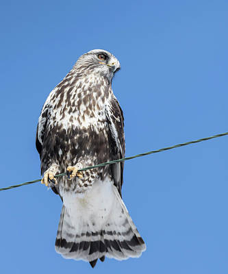 Photograph - Rough-legged Hawk 2018-2 by Thomas Young