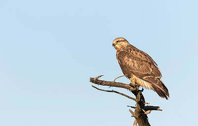 Photograph - Rough-legged Hawk 2018-3 by Thomas Young