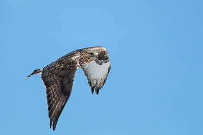 Photograph - Rough Legged Hawk by Celine Pollard