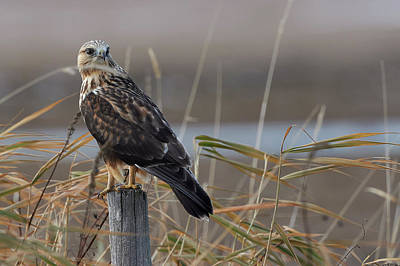Rough-legged Hawk - Fence Sitting Art Print