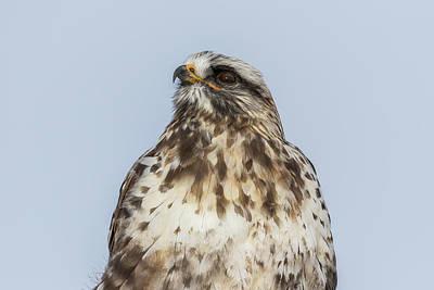 Just Desserts - Rough Legged Hawk Looks Skyward by Tony Hake